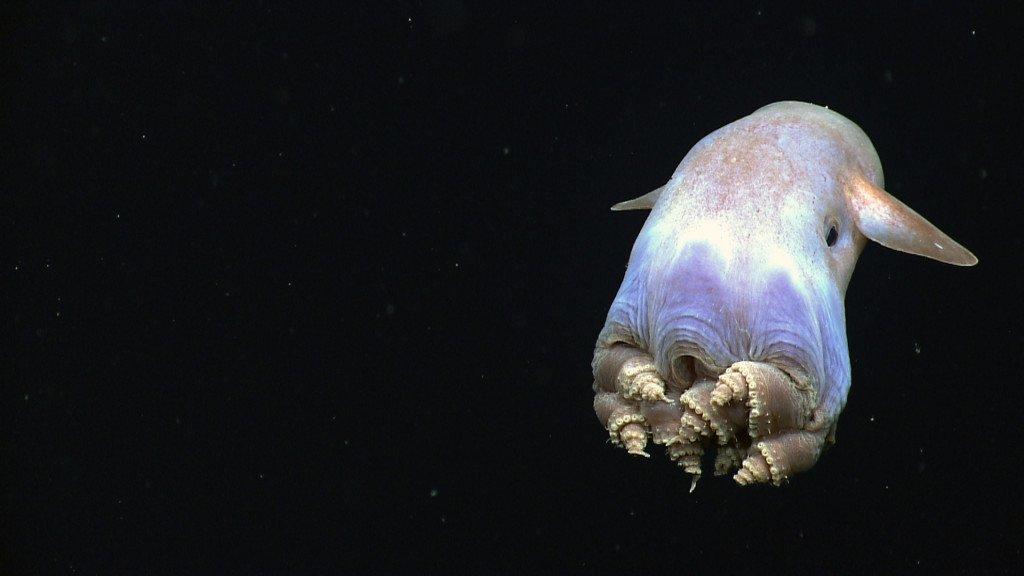Dumbo octopus - weird-animals