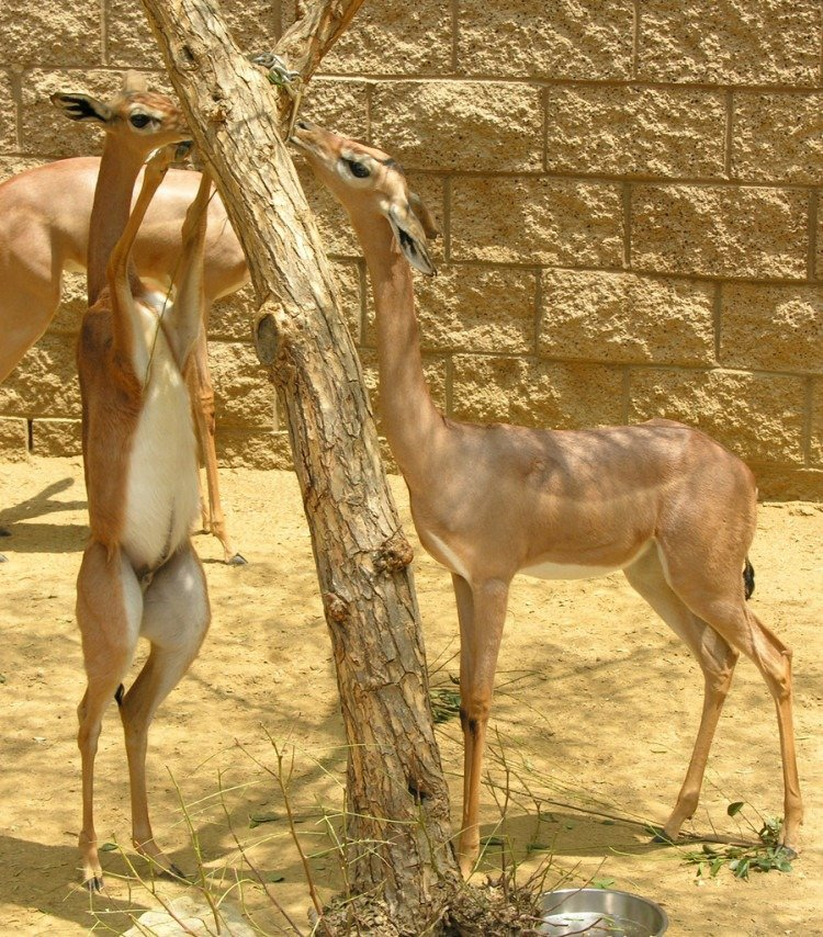 Gerenuk - weird-animals
