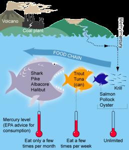 Bioaccumulation of mercury in Marine Life