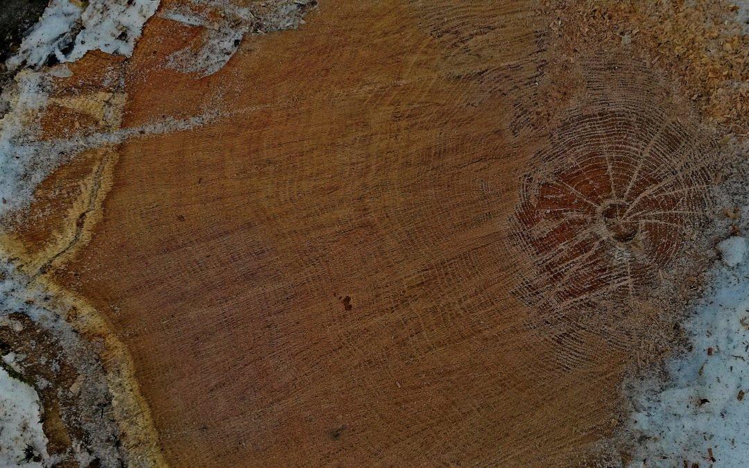 Oak Cross Section