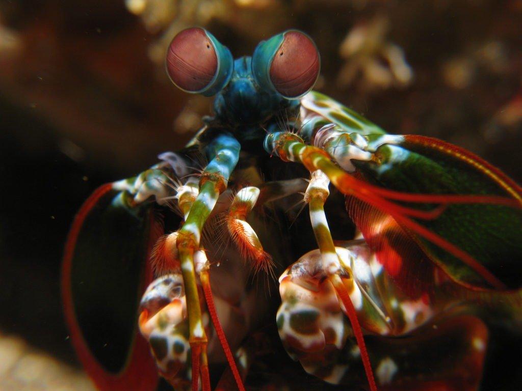 The Mantis Shrimp: Deadly Beauty of the Ocean-https://sciencealcove.com/2015/01/weird-creatures-mantis-shrimp/
