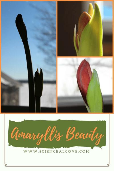 Amaryllis Beauty