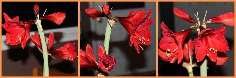 Amaryllis Beauty-https://sciencealcove.com/2015/01/amaryllis-beauty/