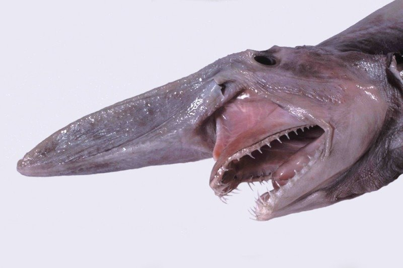 Why does the Terrifying Goblin Shark Look Like Alien-https://sciencealcove.com/2015/01/goblin-shark-weird/