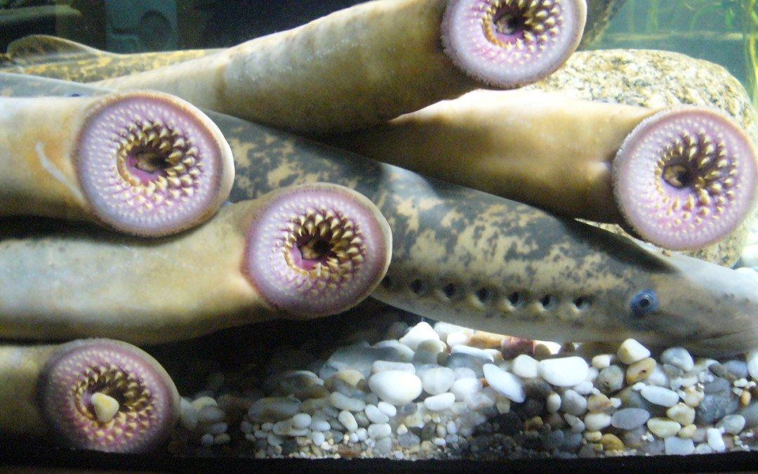 Sea Lamprey:  Ancient Bloodsucker