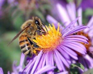 http://upload.wikimedia.org/wikipedia/commons/1/1d/European_honey_bee_extracts_nectar.jpg