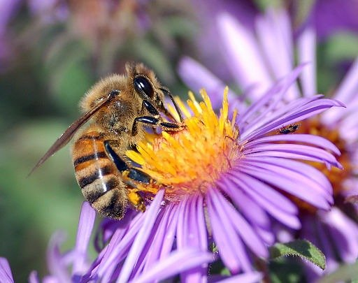 https//upload.wikimedia.org/wikipedia/commons/1/1d/European_honey_bee_extracts_nectar.jpg