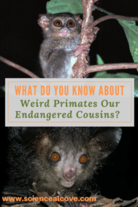 These weird primates are close relatives of humans. They are presumed endangered as they are rarely seen. Think Furby or Gremlin and you'll get the picture. #monkey #ayeaye #tarsier #primateanimals