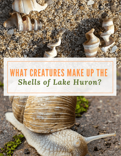 What Creatures Make up the Shells of Lake Huron - If you've ever wanted to know what was once living in those shells you collect along the Great Lakes, before you use them in your crafts or projects,this is the place to discover that information.