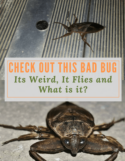 Giant flying bugs - these ones are weird, dangerous-looking and live where you least expect. Liking bright lights they're also called Electric Light Bugs. #pondscience #lifecycles #fun #student