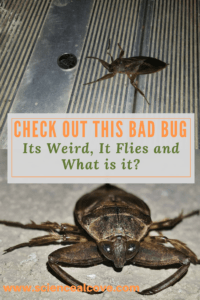 Check out this Bad Bug. Its Weird, It Flies and What is it-https://sciencealcove.com/2016/05/check-out-this-bad-bug-its-weird-it-flies-and-what-is-it/