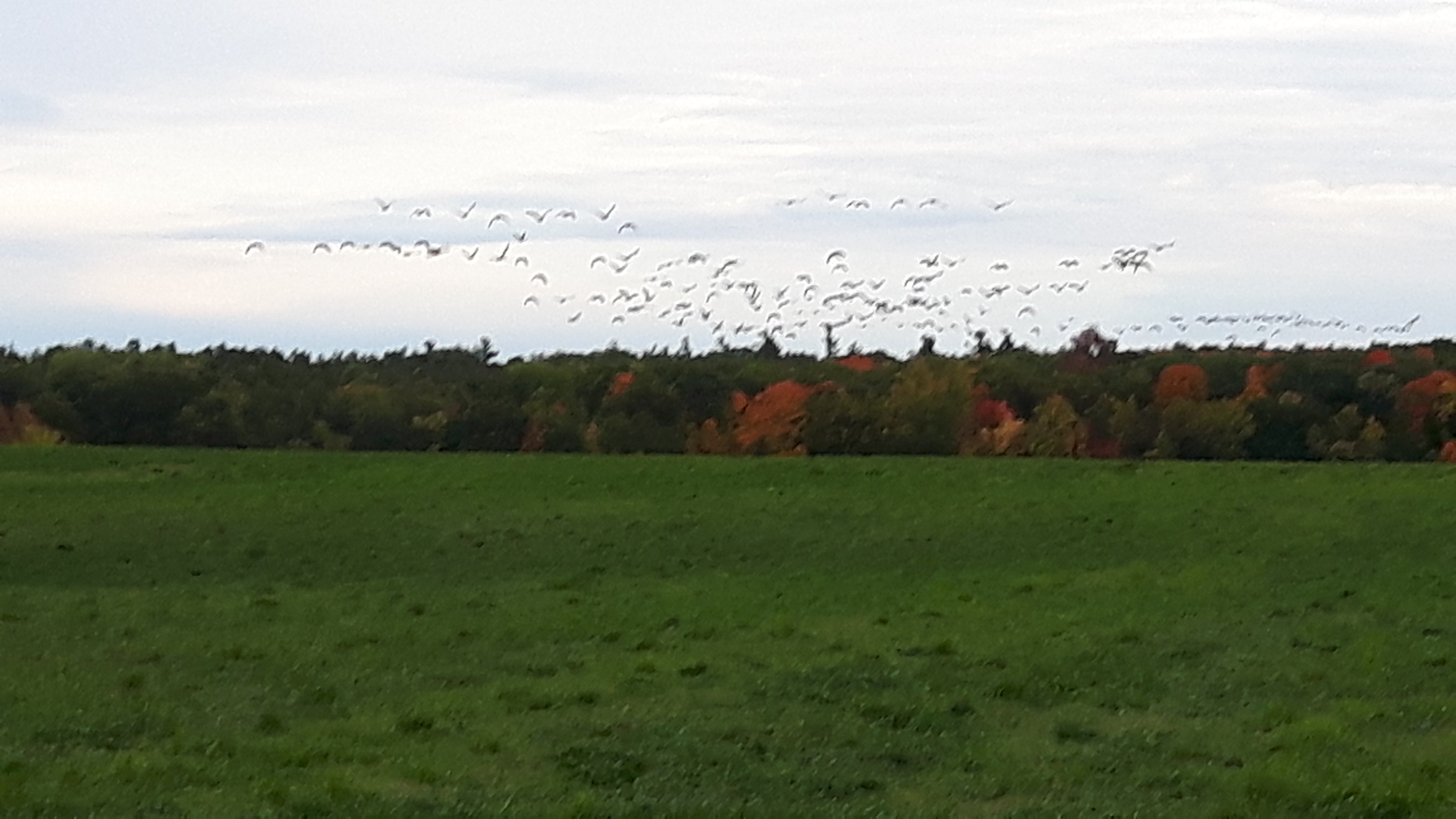 Migration of Canada Geese