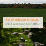 Why the Migration of Canada Geese Will Blow Your Mind?