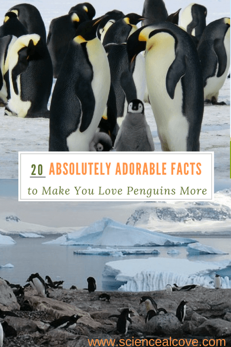 20 Absolutely Adorable Facts to Make you Love Penguins More - https://sciencealcove.com/2017/01/15-facts-make-you-love-penguins/