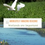 10 Absolutely Amazing Reasons Wetlands are Important