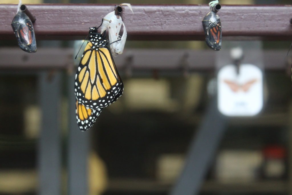 Butterfly facts: Monarch butterflies