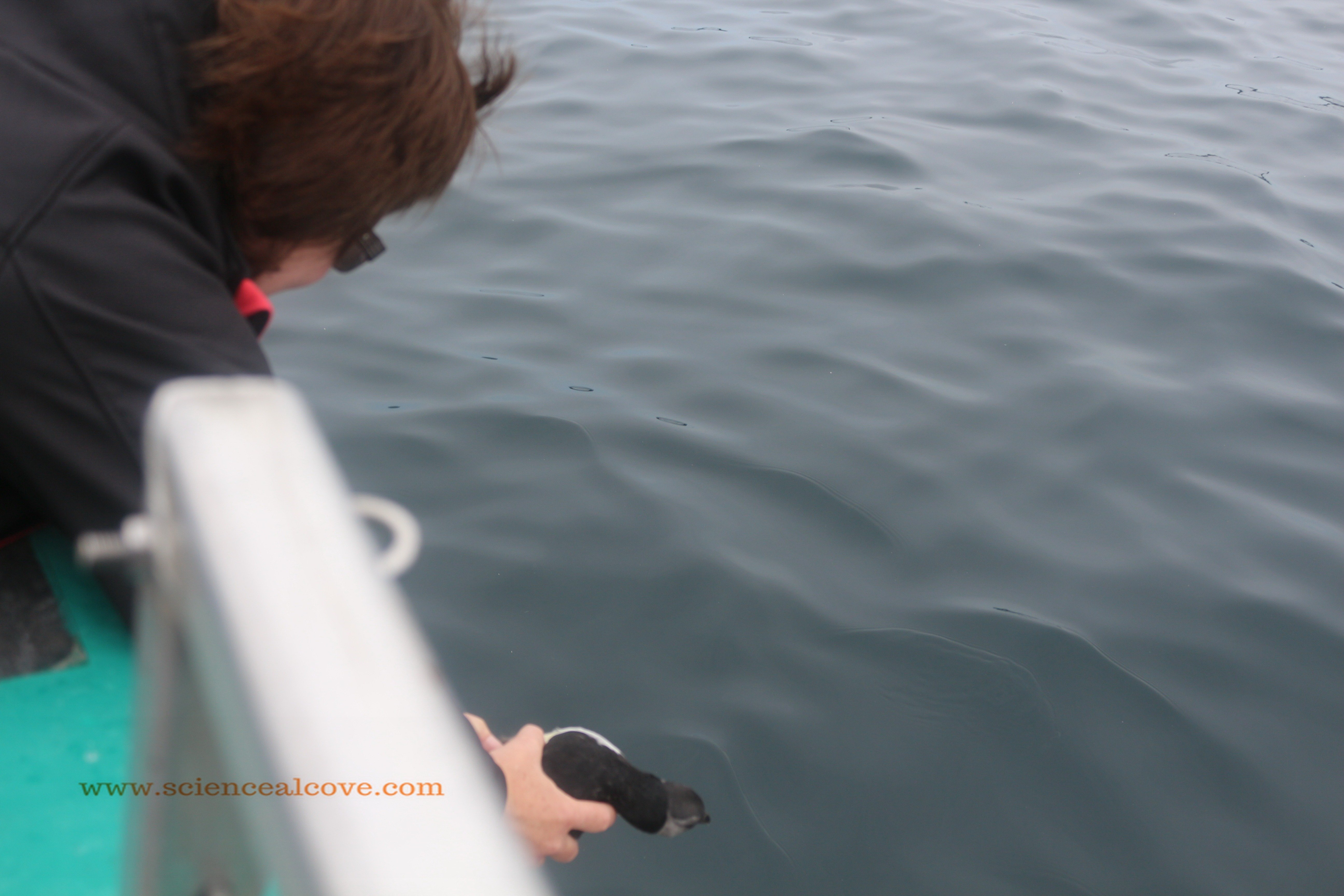 Release the puffling!
