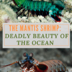 The Mantis Shrimp:  Deadly Beauty of the Ocean