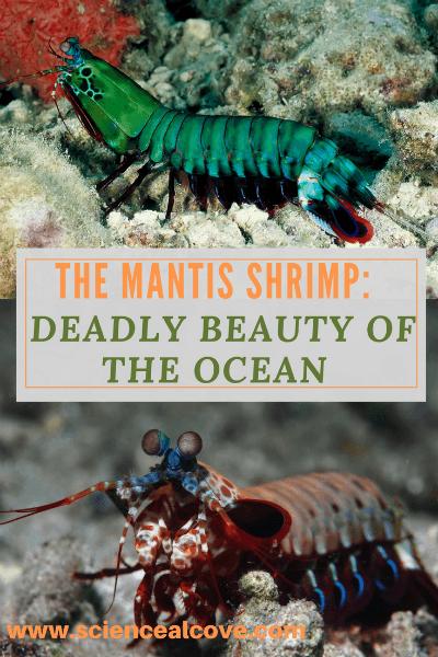 The Mantis Shrimp:  Deadly Beauty of the Ocean