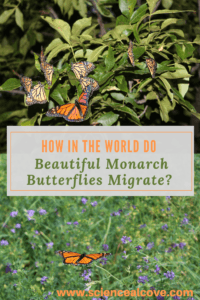 """How in the World do Beautiful Monarch Butterflies Migrate? - """"The fact that the delicate but beautiful monarch butterflies migrate is a marvel of nature. From North America to Mexico, their migration is a marvel considering their small and delicate nature. Their populations are declining but there are ways you can help. *There are affiliate links within this post. If you click, I may make some coffee money at no cost to you. #butterflyscience #science #migration #insectpollinators #affiliatelinks #monarchbutterflies"""""""