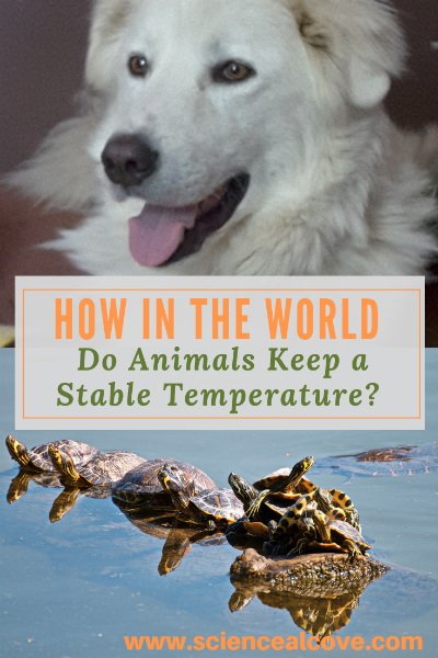 How in the World Do Animals Keep a Stable Temperature?