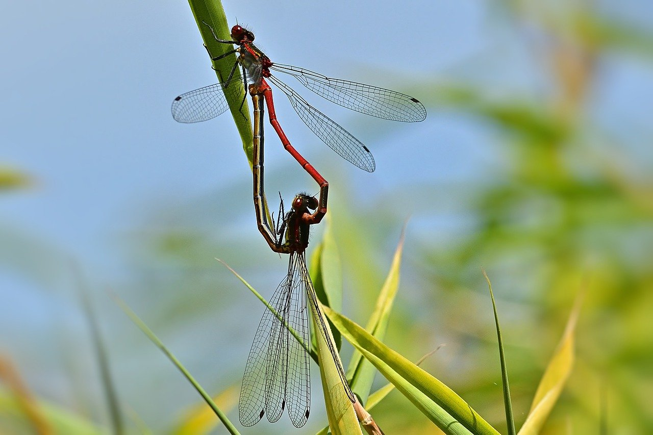 As living things dragonflies reproduce